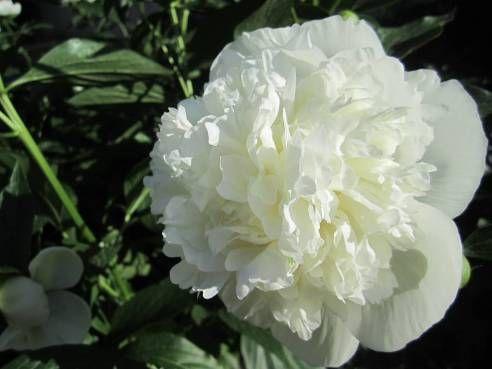 Hoa mẫu đơn phong thủy màu trắng