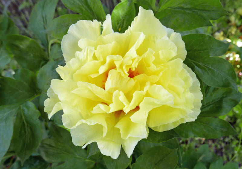 Hoa mẫu đơn phong thủy màu vàng