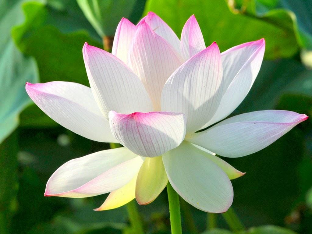 hoa sen trang vien hong