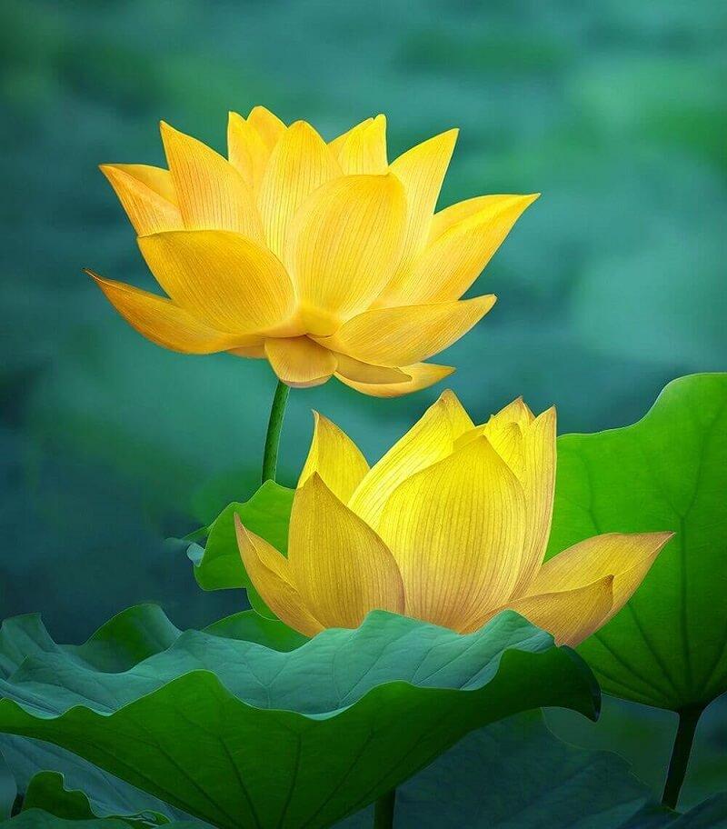 ý nghĩa hoa sen trong phong thủy