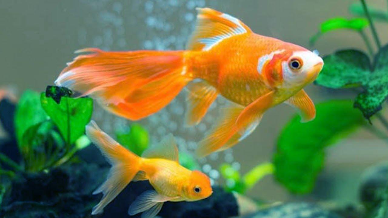 Cá vàng